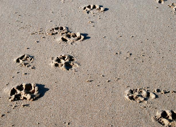 cd1ffa03e Paw Prints in the Sand