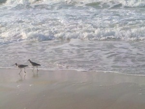 two sandpipers on beach