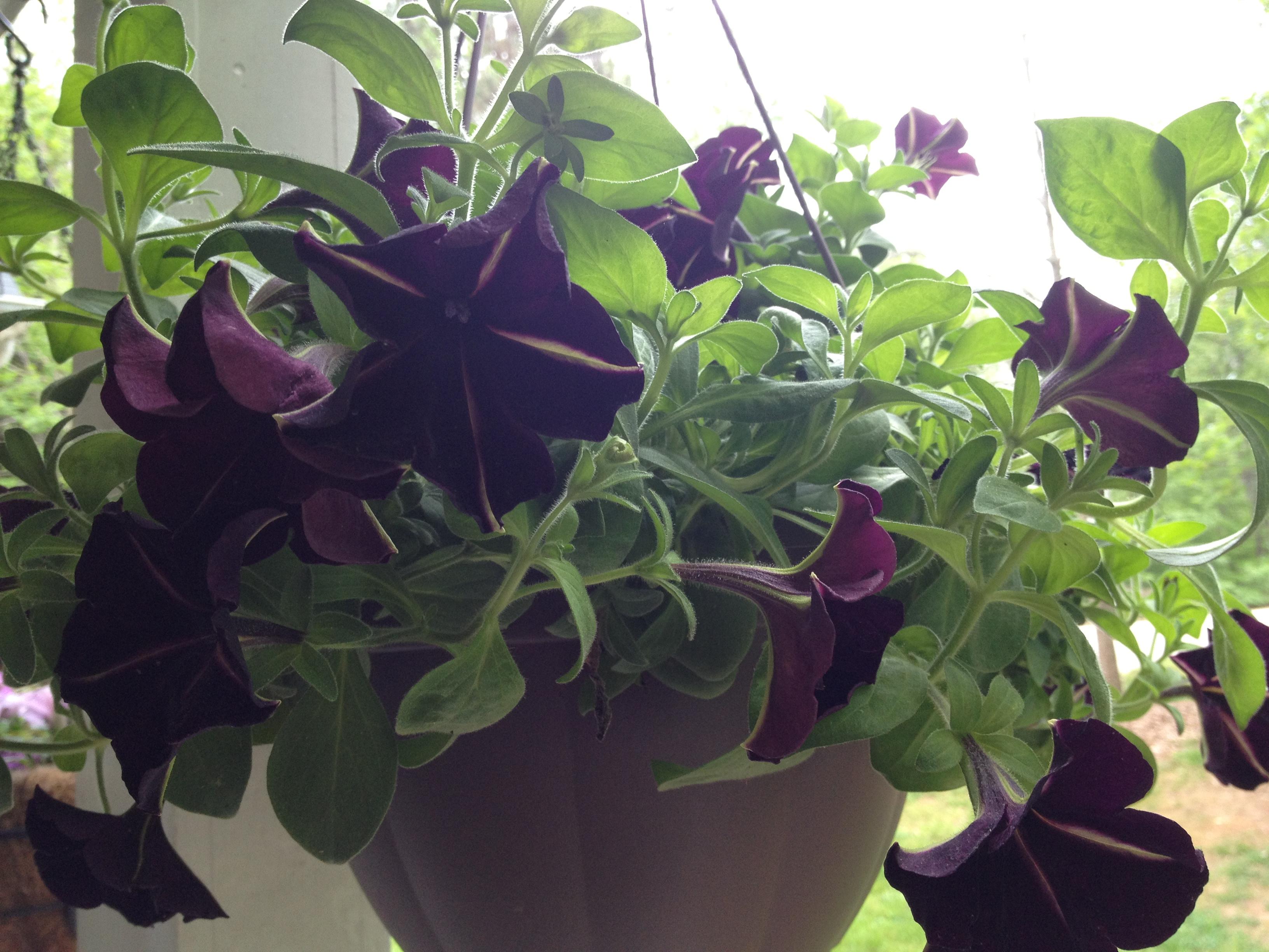 Black Petunias Black Magic For Your Garden