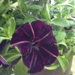 Black Petunias:  Black Magic For Your Garden