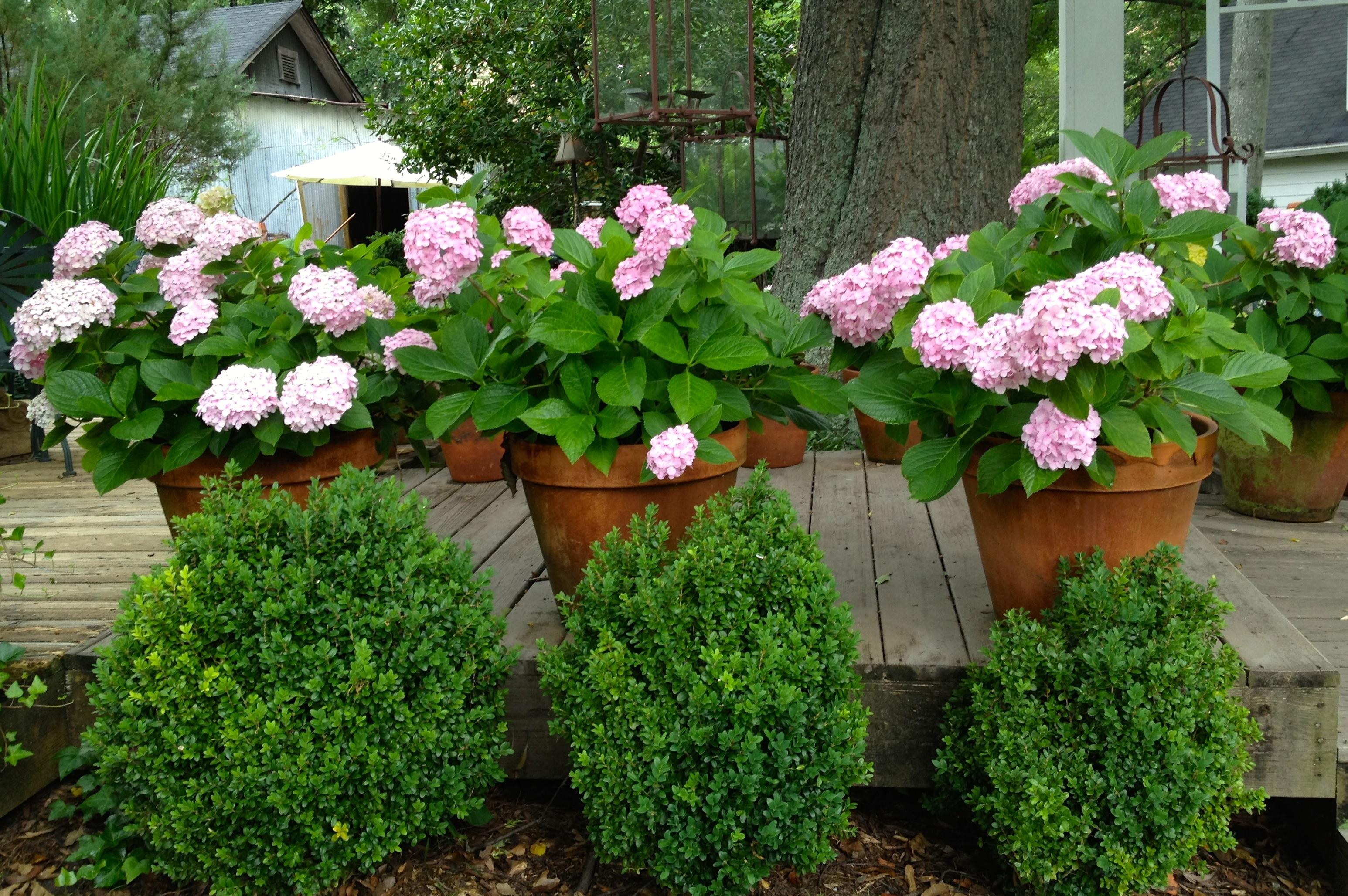 hydrangeas in Suzanne Hudson's garden