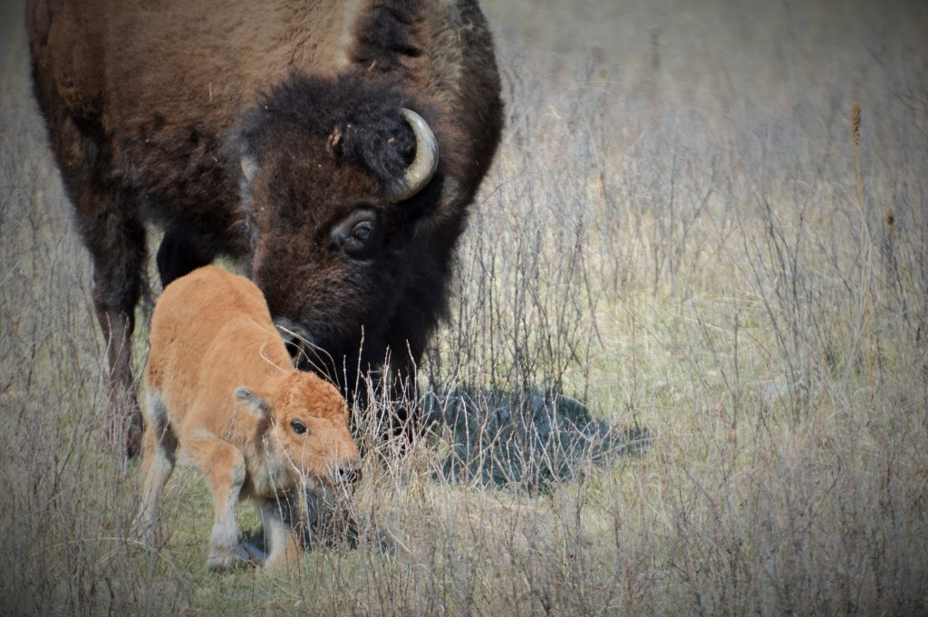 baby bison and mother