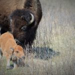 South Dakota's Buffalo Roundup
